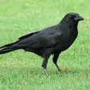 crowfulll
